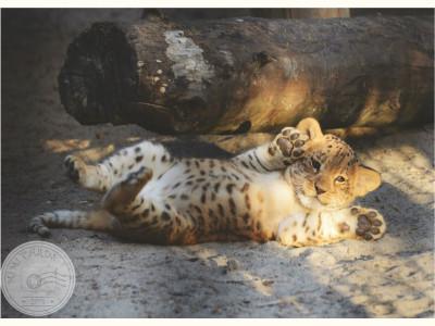 Новосибирский зоопарк. Детеныш леопарда
