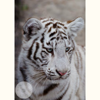 Новосибирский зоопарк. Белый тигр